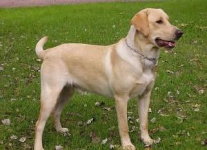 拉布拉多猎狗图片