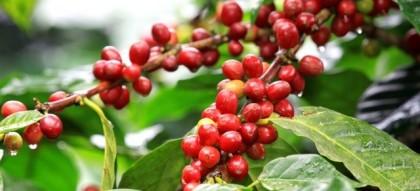阿拉比卡咖啡树图片